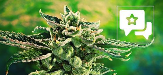 Blue Cheese: Cannabis Strain Review & Informatie