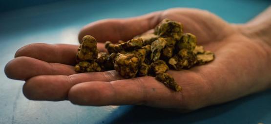 Het ontdekken van Psilocybe Tampanensis: De originele truffel