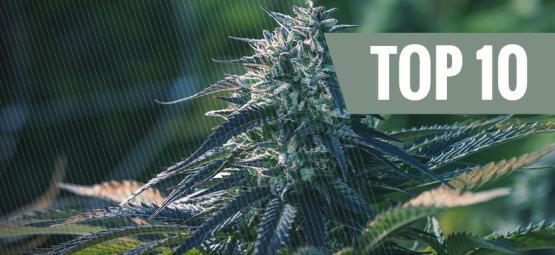 Top 10 Redenen Om Autoflowering Wietplanten Te Kweken