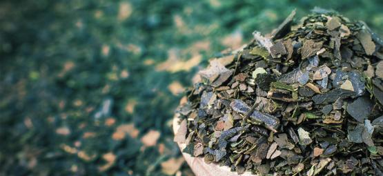 Ontdek Guayusa: Schone energie uit het regenwoud