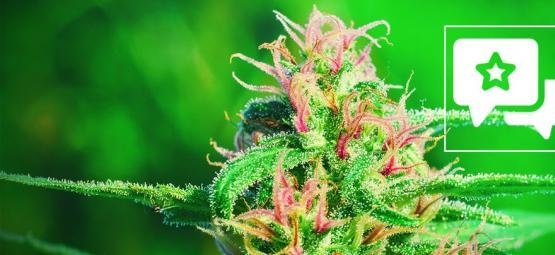 White Widow: Cannabis Strain Review & Informatie