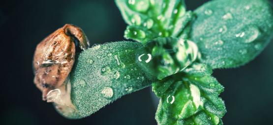 Kweektip: Het verzorgen van je cannabis zaailingen