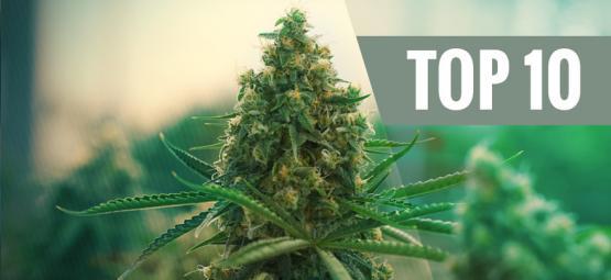 De Top 10 Beste Cannabissoorten