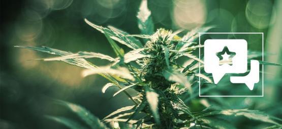 White Russian: Cannabis Strain Review & Informatie