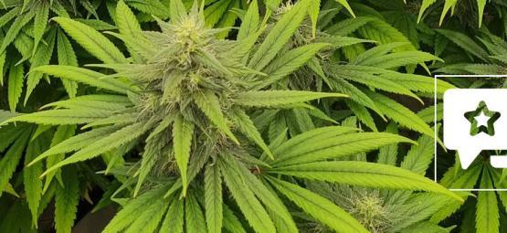 Soort Beoordeling: Pineapple Chunk