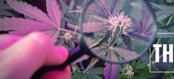 Kweektip: Stimuleer THC met UV licht