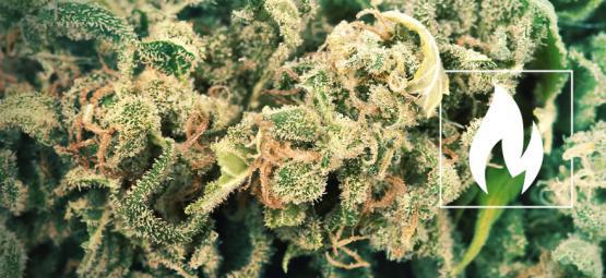 Hoe En Waarom Decarboxyleer Je Cannabis