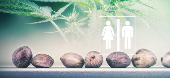 Kun Jij Zeggen Wat Het Geslacht Van Cannabiszaadjes Is?