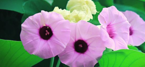 Maak Kennis Met Hawaiian Baby Woodrose: Een Natuurlijk Psychedelicum