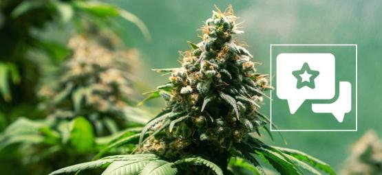 Jack Herer: Cannabis Strain Review & Informatie