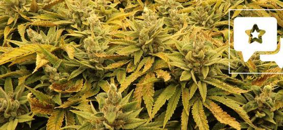 Strain Beoordeling: Bubba's Gift