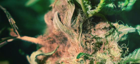 Hoe Herken En Voorkom Je Toprot Bij Het Kweken Van Cannabis?