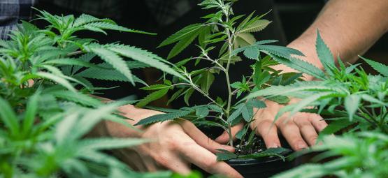 Interview Met Jorge Cervantes: Vader Van De Cannabis Grow Guide