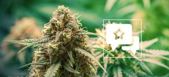 Master Kush: Cannabis Strain Review & Informatie