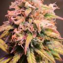 Strain Review: Shining Silver Haze van Royal Queen Seeds