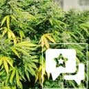 Strain Review: Critical Kush