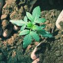 Hoeveel Tijd Kost Het Om Cannabis Te Kweken?