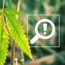 5 Problemen Die Kunnen Ontstaan In De Bloeiperiode Van De Cannabis Levenscyclus