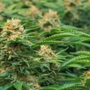 Speciale Cannabissoorten Voor SOG Door Philosopher Seeds