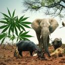 Ga Op Cannabis Safari Met Deze 5 Cannabis Soorten