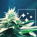 De Oorsprong Van Northern Lights Cannabis En De Top 3 Northern Lights Soorten