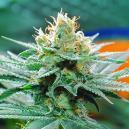 De Oorsprong Van Amnesia Cannabis En De Top 3 Amnesia Soorten