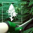 Top 4 Snoeitechnieken Voor Je Cannabis Planten