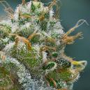 Hoe Verhoog Je De Trichoomproductie Voor Het Oogsten Van Cannabis?