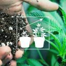 Buiten cannabis kweken: De beste aardemix