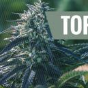De 5 grootste voordelen van autoflowering zaden