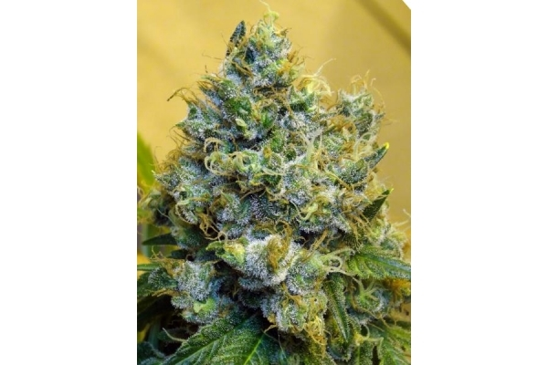 Blue Mystic (Royal Queen Seeds) feminized