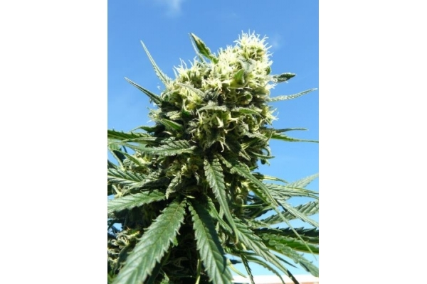 Northern Light (Royal Queen Seeds) gefeminiseerd