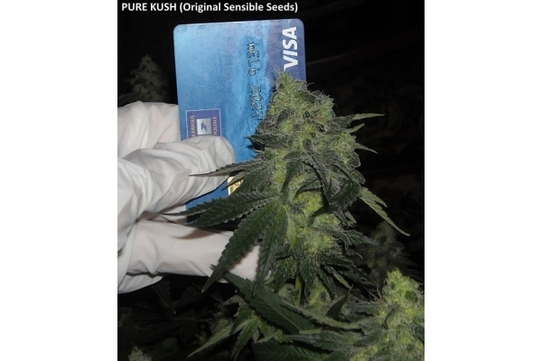 Pure Kush (Original Sensible) feminized
