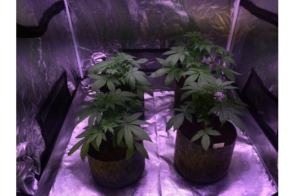 Blue Dream (Zamnesia Seeds) feminized
