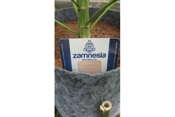 Critical (Zamnesia Seeds) feminized