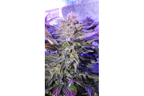 Cheese (Zamnesia Seeds) feminized