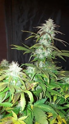 Blueberry Automatic (Zamnesia Seeds) feminized