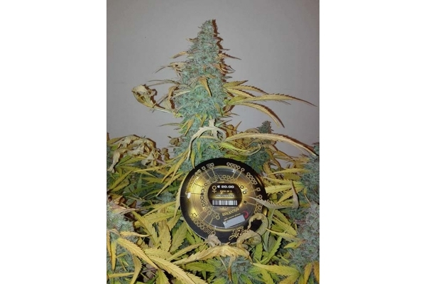 King's Kush Autoflowering (Greenhouse Seeds) feminized