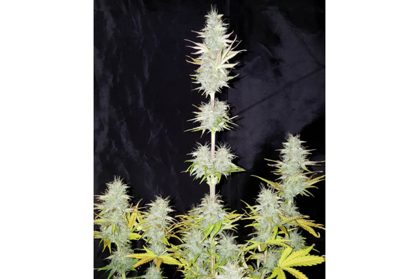 Monster Dwarf Auto (Zamnesia Seeds) feminized
