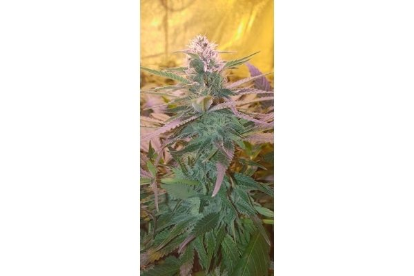 Gorilla Glue (Zamnesia Seeds) feminized