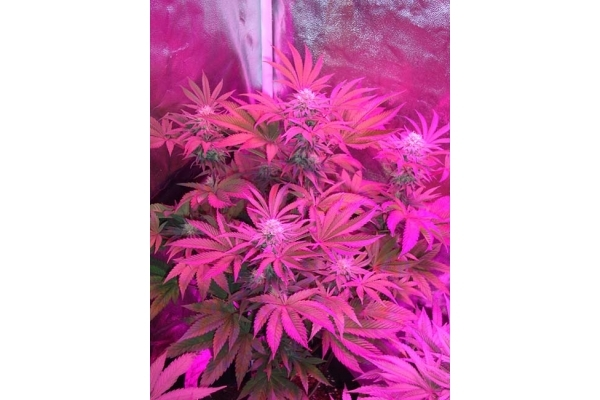 Girl Scout Cookies (Zamnesia Seeds) Feminized