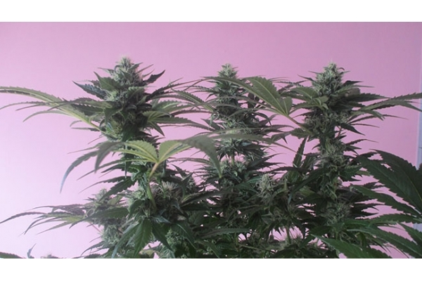 OG Double Bubble (Zamnesia Seeds) feminized